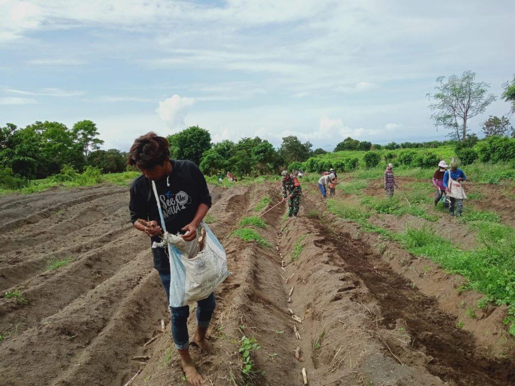 Danramil Pekat bersama masyarakat petani Tebu saat melakukan penanaman perdana tebu di Dusun Oi Ua Desa Beringin Jaya dan Dusun Ngguwu Belanda Desa Doropeti beberapa waktu lalu